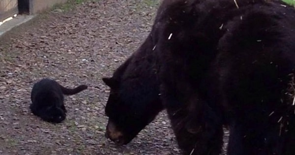 Stray Cat Wanders Over To Bear — How The Bear Reacts Leaves Onlookers Breathless