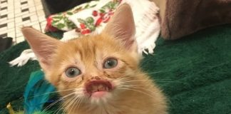 Emaciated Kitten Discovered Outside by Dumpster to Undergo Reconstructive Surgery to 'Save His Face'