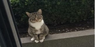 Neighbor Cat Politely And Patiently Waits Outside Everyday To Play With His BFF