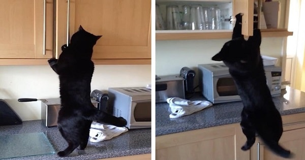 Husband Is Shocked By Lengths Cat Will Go To To Steal Treats, So He Decides To Record …