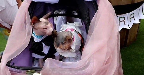 Two Bald Kitties Get 'Married' In Odd Wedding Ceremony – But The Reason Why Will Break Your Heart