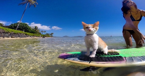Stunning One-Eyed Cat Who Absolutely Loves Swimming And Surfing In Hawaii