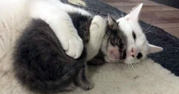 This Cat Hugs Every Orphaned Kittens His Mom Brings ….