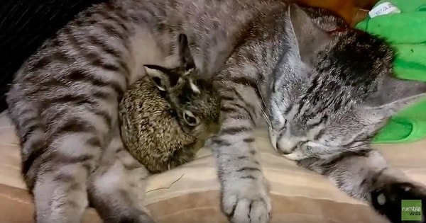 This Adorable Rescued Baby Bunny Shares Incredible Bond With The Family Cat!