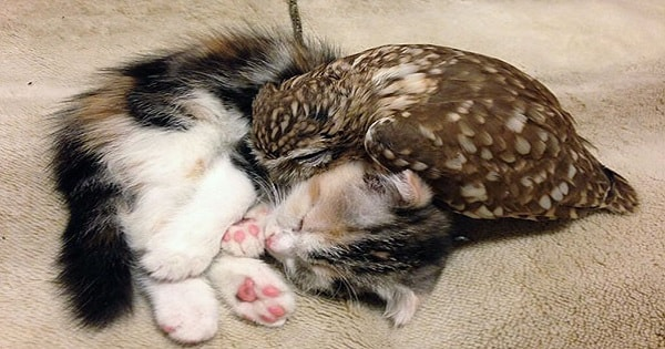 Endearing Friendship Between A Kitten And A Littke Owlet!