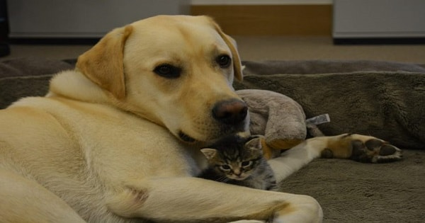 Labrador Adopts Abandoned 5-week-old Kitten And Now They Spend Their …
