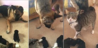 Mama Cat Introduces German Shepherd To Her Litter Of Kittens