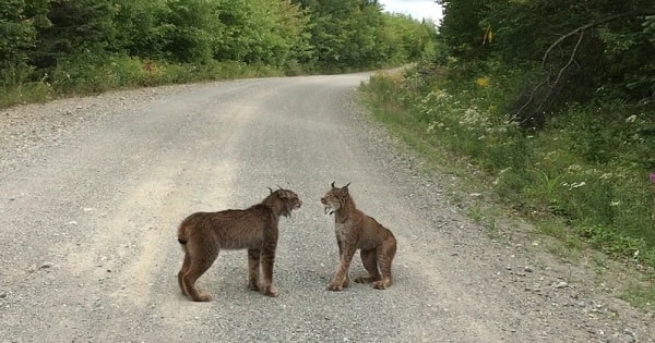 Two Lynxes Stop Traffic in Maine Just to Bicker Like Some Married Couple!