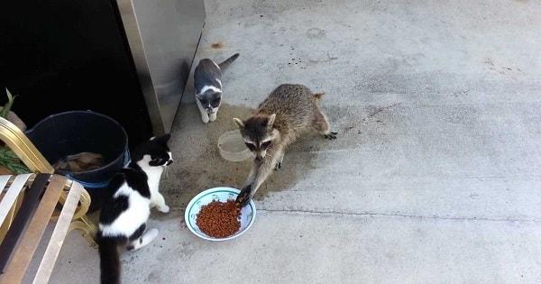 Very Naughty Raccoon Steals Cat Food and Runs Away Like Little Human!