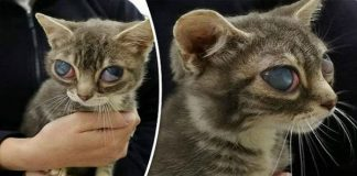 Poor Kitten Left With His Eyes Bulging From Their Sockets After Serious ...