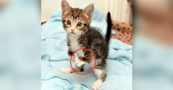 Disabled Kitten Who Was Almost Put Down – Is Now The Best …