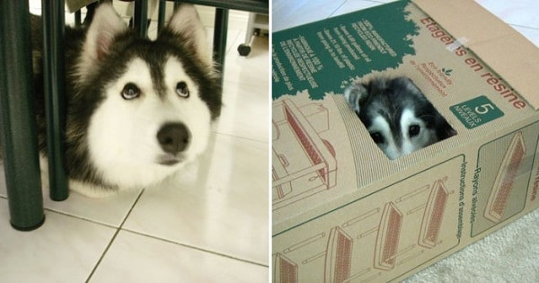 Amazing And Adorable Pictures Of A Husky Who Identified As A Cat!