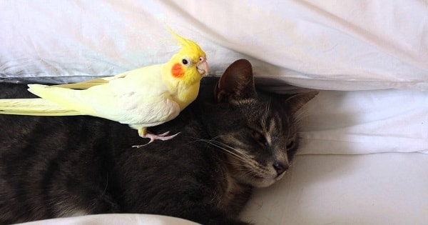 Bird Loves His Kitty So Much That It Actually Gets a Bit Possessive and Protective!