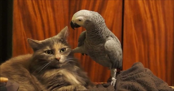 Pet Parrot Annoys Cat to Her Limits But Her Response is EPIC!