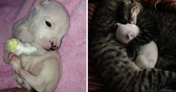 Pit Bull Puppy Rescued And Adopted By Cats After His Mom Tried To Eat Him!