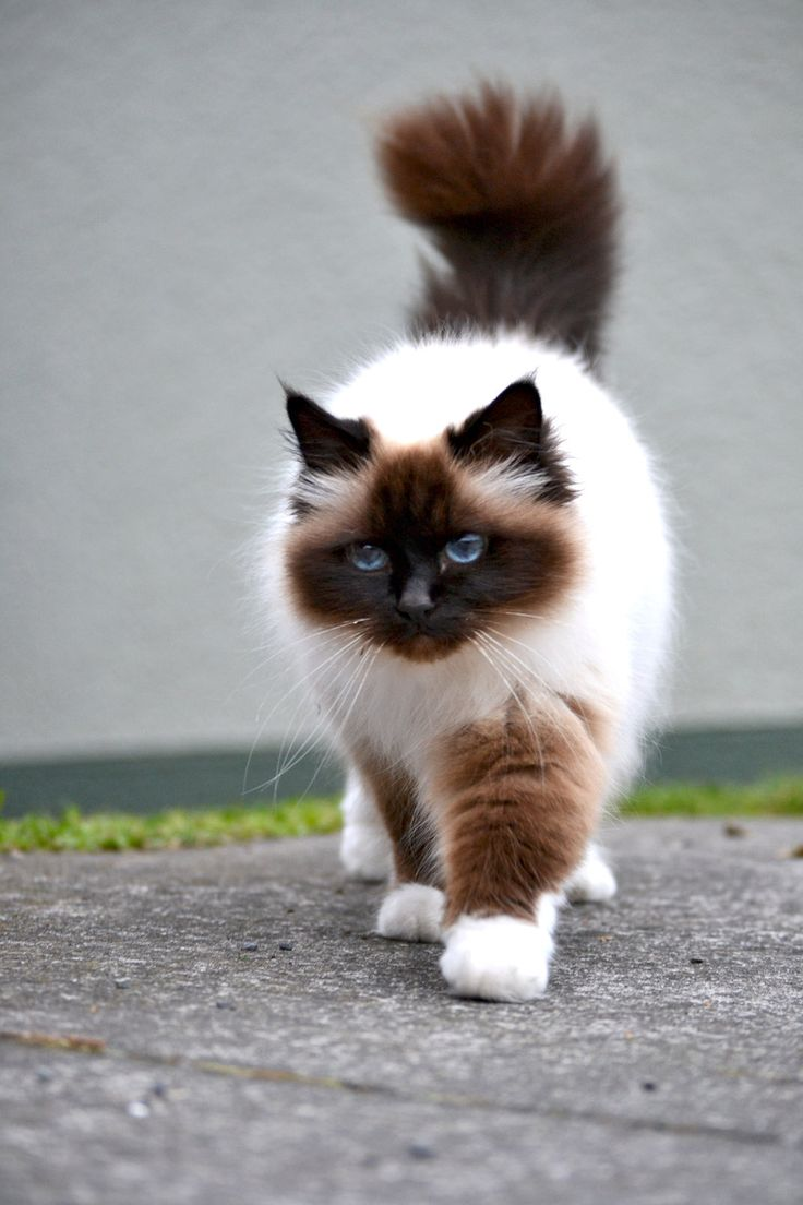 10+ Extremely Expensive Breeds Of Cats! 2