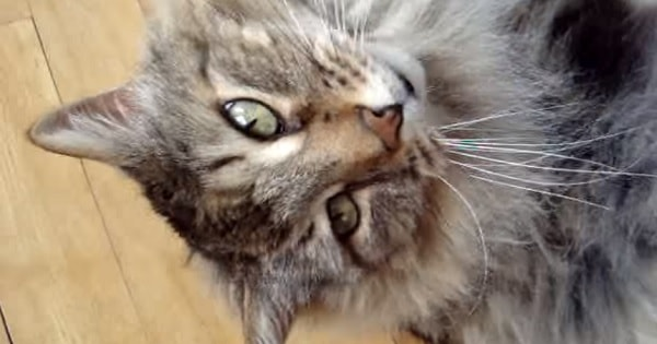 Micmac the Maine Coon Tries to Cheer His Human Up!
