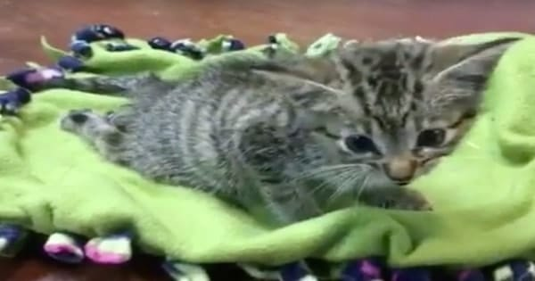 Poor Kitten With a Broken Pelvis Was Thrown Out By Heartless People, But Today, She Is …
