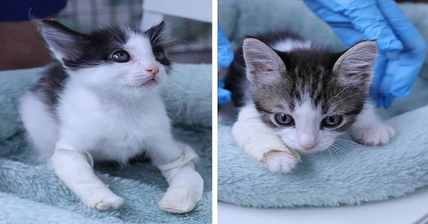 Kittens Legs Were Growing So Crooked That Now, They Have …