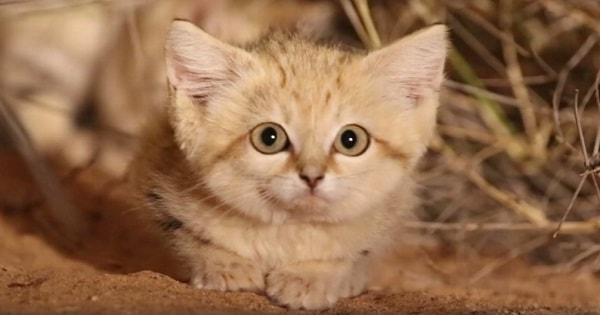 Scientists Documented Sand Cat Kittens in the Wild for the First Time - The Cutest Video You Will See Today!