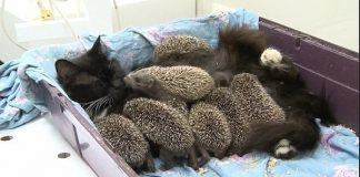 Kind-hearted Cat Becomes The Foster Mom of 8 Baby Hedgehogs Who Lost Their Parents!