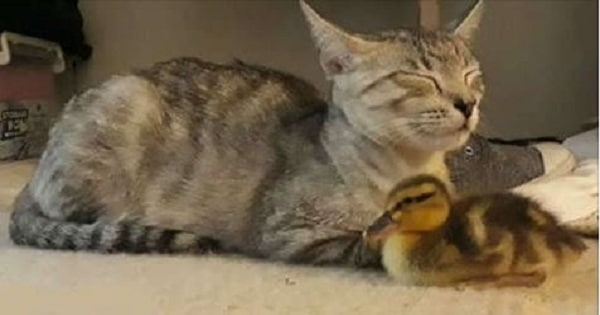 Watch As This Orphaned Duckling Becomes Part of an Adorable Feline Family!