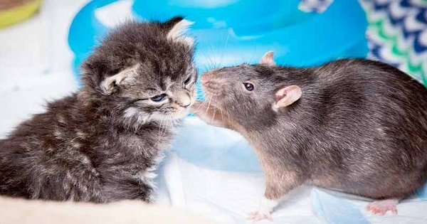 Foster Kittens Lonely And Sick, So Café Hires Rats To Take Care Of Them