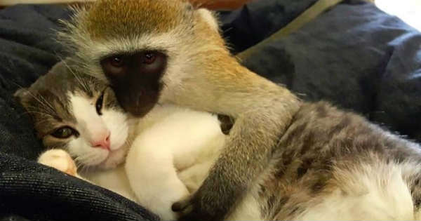 Orphaned Baby Monkey Grows Up with Two Cats at His Brand New Home!