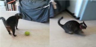 You've Never Seen A Cat Play With A Ball Like This - NEVER!