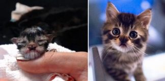 Kitten With Adorable Butterfly-Shaped Nose Grows Into Majestic Fluffy Cat