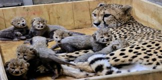 A Cheetah Gives Birth To An Amazing 8 Cubs, And The Pictures Are Sooooo Cute!