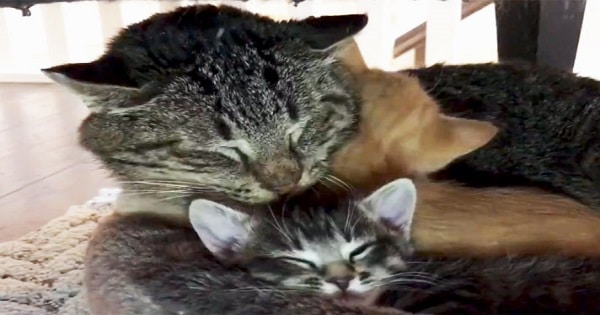 Foster Kittens Teach Elderly Feral Cat To Love