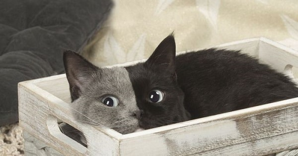 Rare Kitten Born With 'Two Faces' Grows Up Into The Most Beautiful Cat Ever