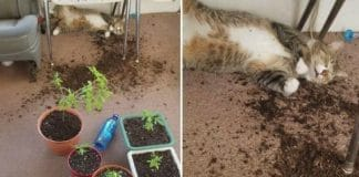 Cat Accidentally Eats Weed And Her Owner Records Her And Posts The Video to Facebook