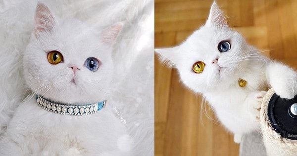 This Heterochromatic Kitty Has More Followers On Instagram Than You!