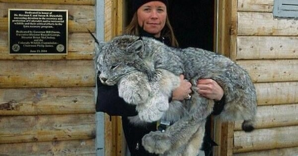 The Big-Pawed Canadian Lynx Is One of the Rarest Cats in the World!