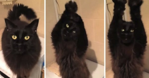 The Latest Internet Sensation - A Belly Dancing Cat!