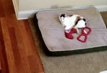 German Shepherd Finds Cat In Her Bed Again, Takes Appropriate Action