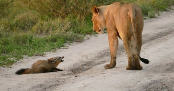 Lioness Surprises the Photographer With Her Decision on Seeing an Injured Baby Fox!