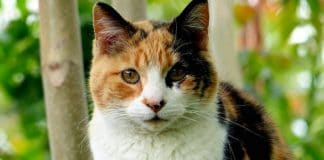 Notice How Calico Cats Are Almost Always Female? Here's Why!