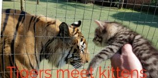 What Would Happen If A Cat Met A Tiger? We Finally Have The Answer And It's Not What We Were Hoping For!