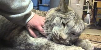 A Woman Is Reserved When She Starts Petting This Lynx Until It Responds Back With Love!