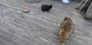 Nature Is Amazing – Kittens Help A Blind Raccoon!