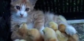 A Cute Ginger Kitty Adopts Baby Chicks And WE'RE MELTING!