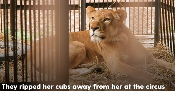 Circus Lion Can't Wait To Be Reunited With Her Cute Cubs