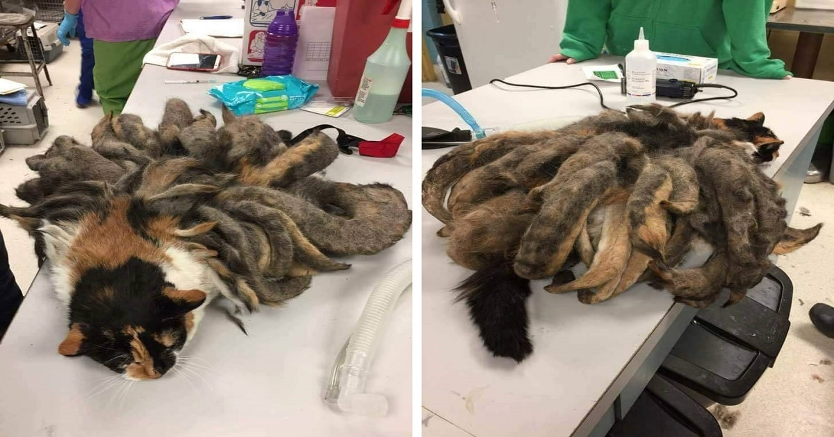 """Neglected Cat With """"Dreadlocks"""" Loses 2 Pounds Of Master Fur"""
