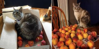 This Cat Has A Strange Obsession with Peaches! You Read That Right!