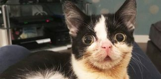 This Cat With Dwarfism Should Be An Inspiration For Us All!
