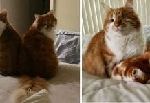 This One-Eyed Cat Is The Guide For His Blind Brother!