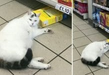 Chubby cat strolls into Tesco to steal some treats and take a nap